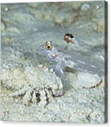 Goby With A Hermit Crab, Australia Acrylic Print