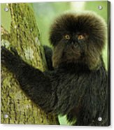 Goeldis Monkey Callimico Goeldii Acrylic Print