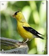 Gold Finch At The Bird Bath Acrylic Print
