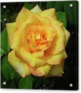 Gold Medal Rose Acrylic Print