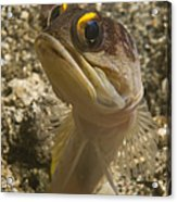 Gold-speck Jawfish Pouting, North Acrylic Print