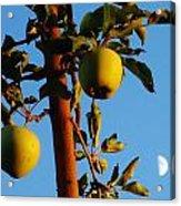 Golden Apples Acrylic Print