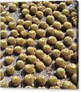 Golden Barrel Cactus 1 Acrylic Print