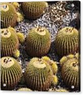 Golden Barrel Cactus 2 Acrylic Print