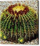 Golden Barrel Cactus Acrylic Print