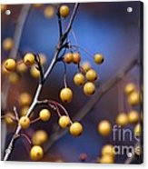 Golden Berries Acrylic Print