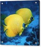 Golden Butterflyfish Pair Acrylic Print
