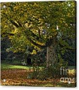 Golden Cappadocian Maple. Acrylic Print