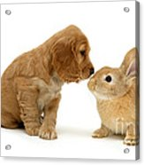 Golden Cocker Spaniel And Rabbit Acrylic Print