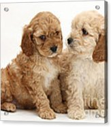 Golden Cockerpoo Puppies Acrylic Print