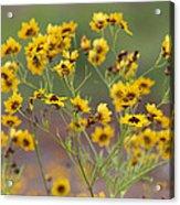Golden Coreopsis Tickseed Wildflowers Acrylic Print