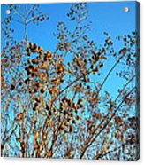 Golden Crepe Myrtle Seeds Acrylic Print
