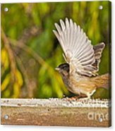 Golden Crowned Sparrow Acrylic Print