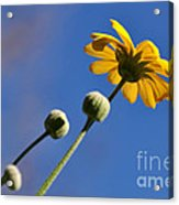Golden Daisy On Blue Acrylic Print
