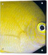 Golden Damsel Close-up, Papua New Acrylic Print