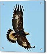 Golden Eagle 1 Acrylic Print
