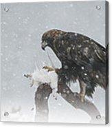 Golden Eagle Acrylic Print by Andy Astbury