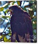 Golden Eagle II Acrylic Print