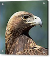 Golden Eagle In Profile Acrylic Print