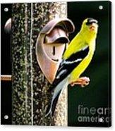 Golden Finch Acrylic Print