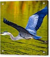 Golden Heron Acrylic Print