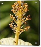 Golden Hibiscus Stamen Acrylic Print