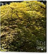 Golden Japanese Maple Acrylic Print