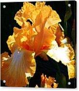 Golden King Acrylic Print