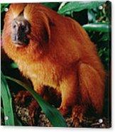 Golden Lion Tamarin Leontopithecus Acrylic Print