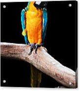 Golden Macaw Acrylic Print