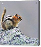 Golden-mantled Ground-squirrel Acrylic Print