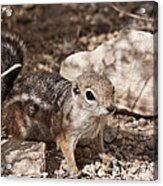 Golden Mantled Squirrel Acrylic Print