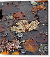 Golden Maple Dew Drops Acrylic Print