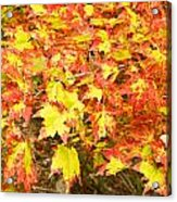Golden Maple Leaves Acrylic Print