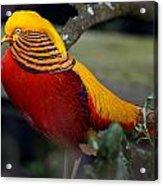 Golden Pheasant Posing Acrylic Print