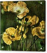Golden Poppies Acrylic Print