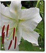 Golden Rayed  Lily Acrylic Print
