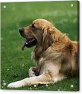 Golden Retriever Dog Laying In The Grass Acrylic Print