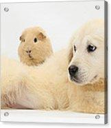 Golden Retriever Pup And Guinea Pig Acrylic Print