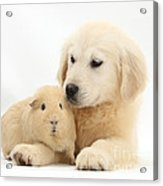 Golden Retriever Pup And Yellow Guinea Acrylic Print by Mark Taylor