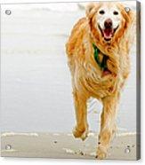 Golden Retriever Running On Beach Acrylic Print by Stephen O'Byrne