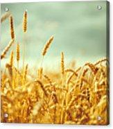 Golden Rey Field Acrylic Print