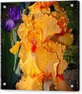 Golden Ruffles 2 Acrylic Print