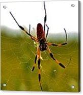 Golden Silk Spider Acrylic Print