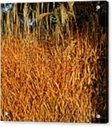 Golden Silver Grass Acrylic Print