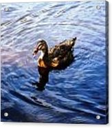 Golden Star Duck Acrylic Print by Joan Meyland