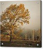 Golden Sunlit Tree With Mist, Yakima Acrylic Print