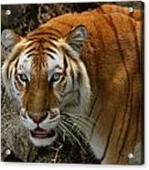 Golden Tabby Bengal Tiger Acrylic Print
