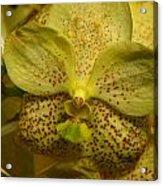 Golden Vanna Acrylic Print