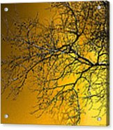 Golden Walnut Tree Acrylic Print